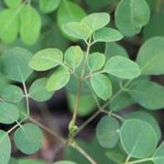 Organic Moringa Dried Leaves (TBC & CS)